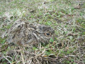 maskované mládě zajíce